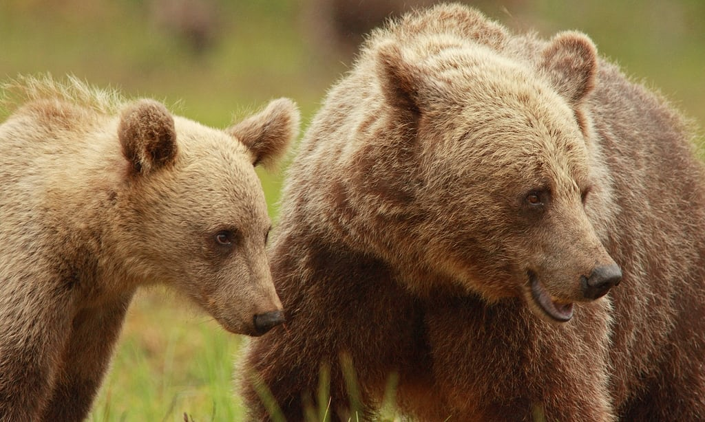 шведские медвежата спасают жизни медведицам