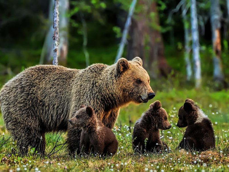 Природа на выдумки хитра - медведи приспособились к охоте