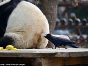 панда и ворона