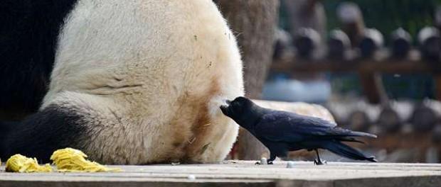 Для китайских ворон лучший материал для гнезд мех панды