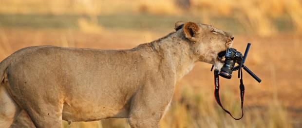 Кенийская львица сняла блокбастер