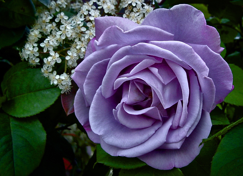 Purple-Rose