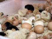 цыплята02