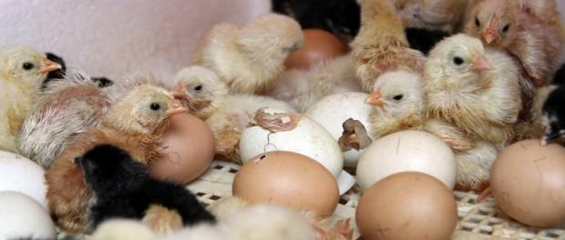 Тухлые яйца в Грузии превратились в милых цыплят