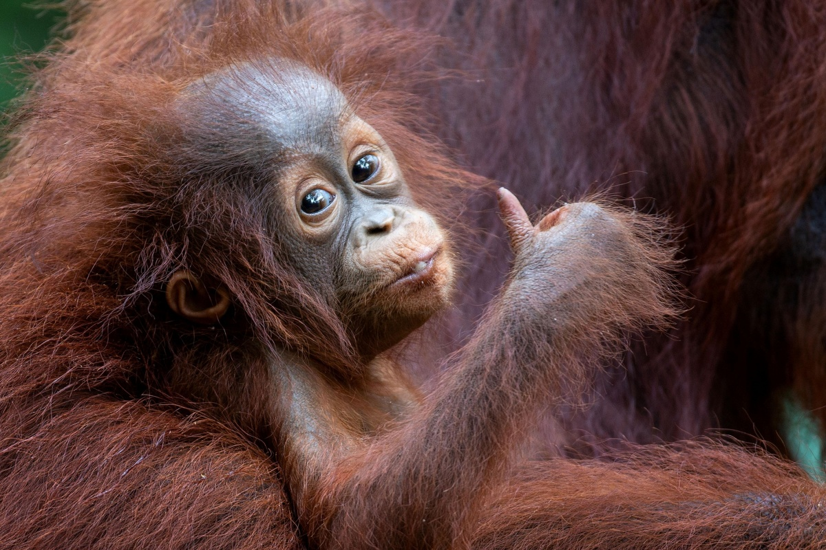 Все ок! от орангутанга из зоопарка Танджунгпутинг. Фото MOGENS TROLLE