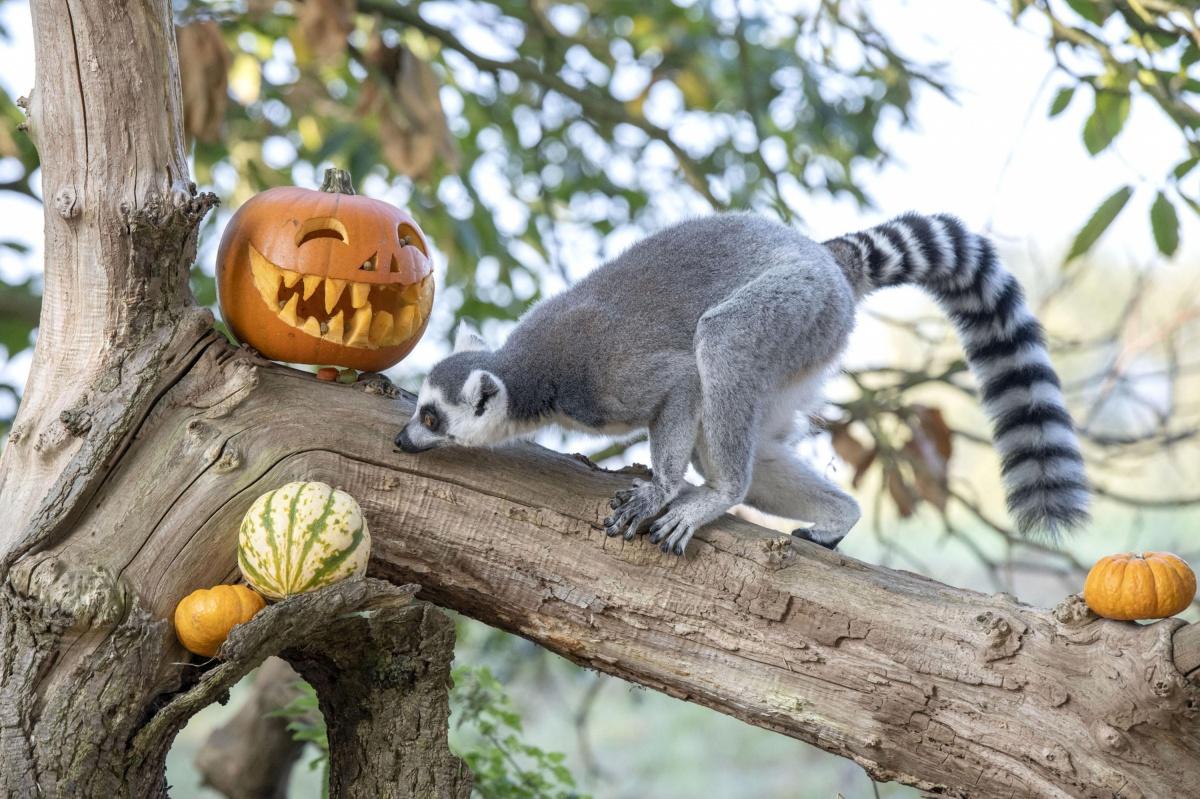 Хэллоуин у лемуров удался
