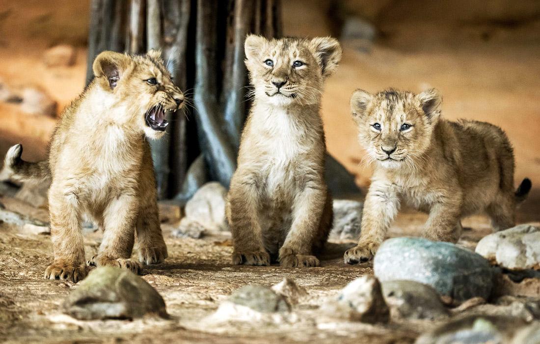 Львята из зоопарка Роттердама