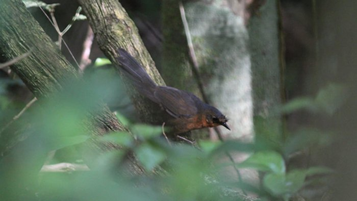 bristle-bird-2