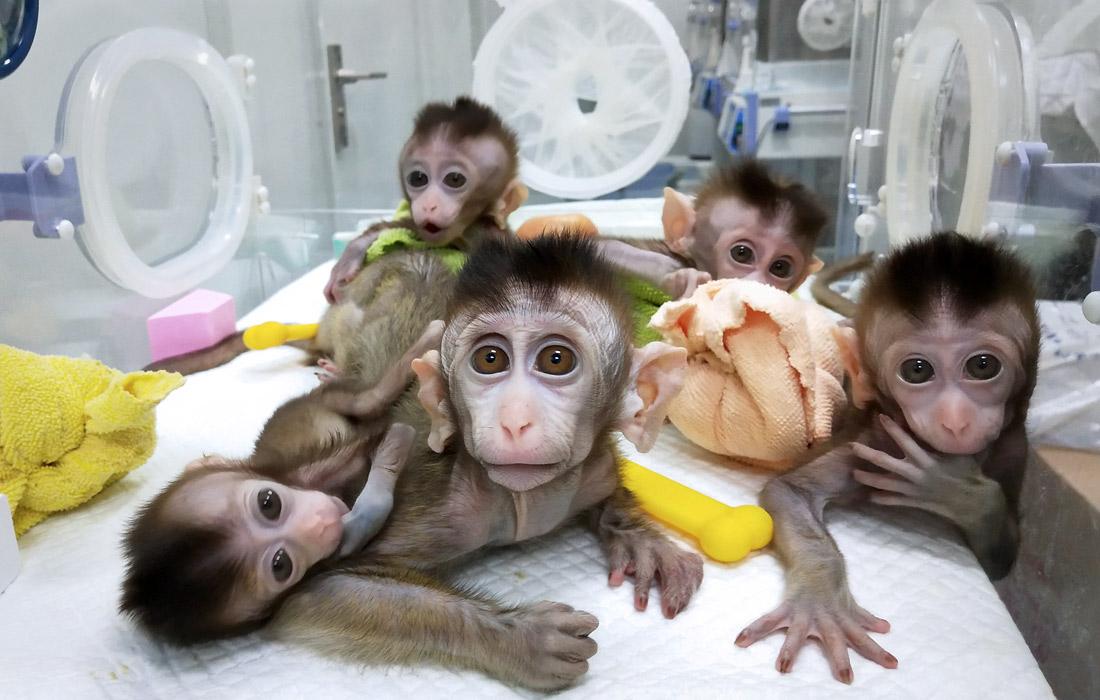 Вслед за овечкой китайцы клонировали обезьян