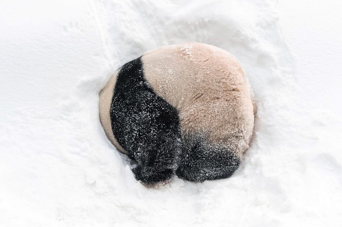 Снежные игры панды в южнокорейском парке