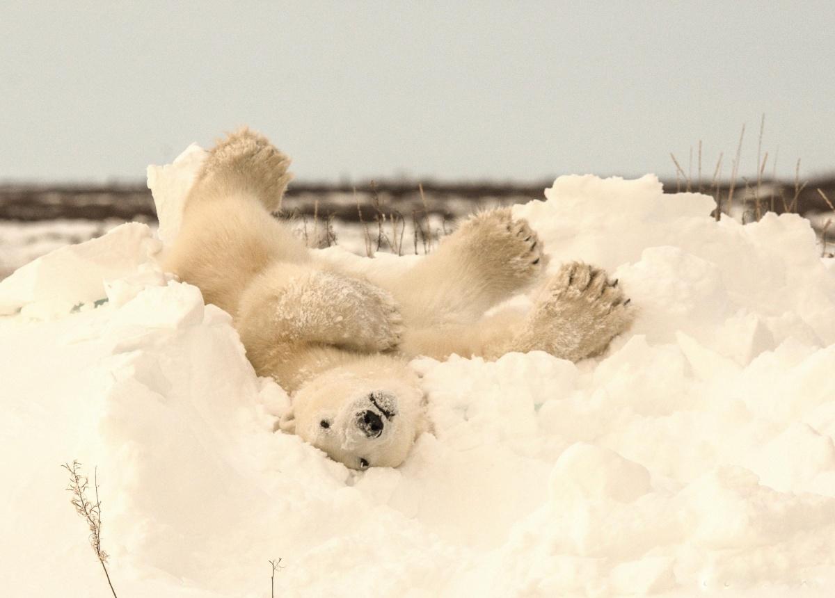 И взрослые мишки могут резвиться в снегу как дети. Фото Jenny Stevens