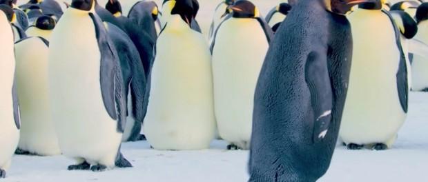 В Антарктиде встретили самого уникального на земле черного пингвина