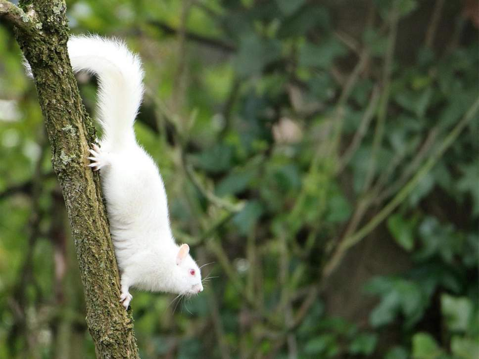 albino-squirrel2