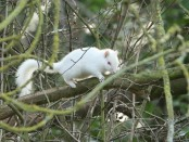 albino-squirrel3