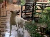 Лабрадор радостно ловит капли дождя