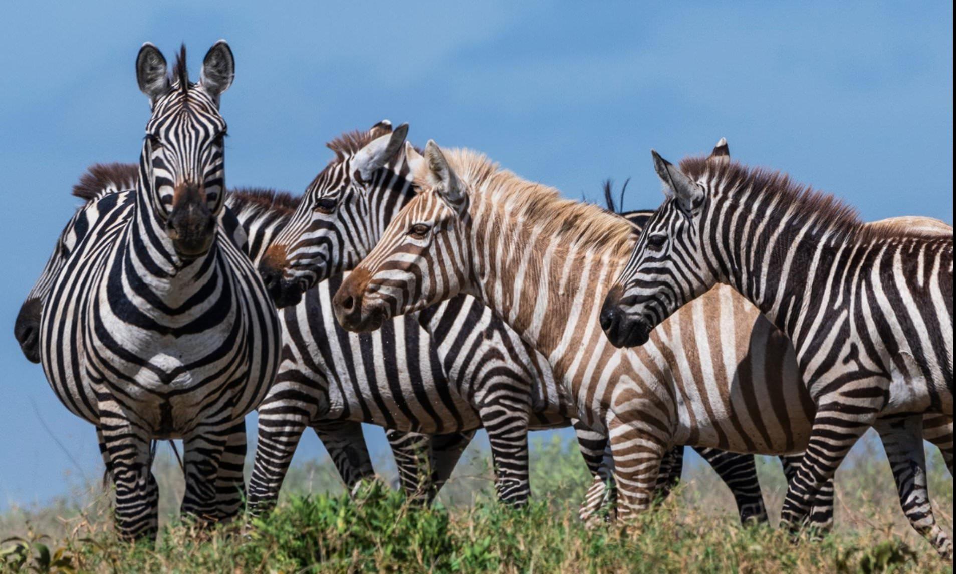 blonde zebra