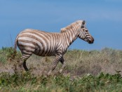 blonde zebra2