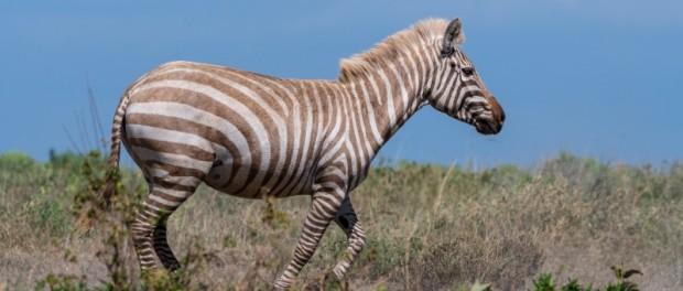 В Танзании нашли редкую зебру-альбиноса