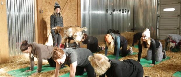 Scotlands first goat pilates3