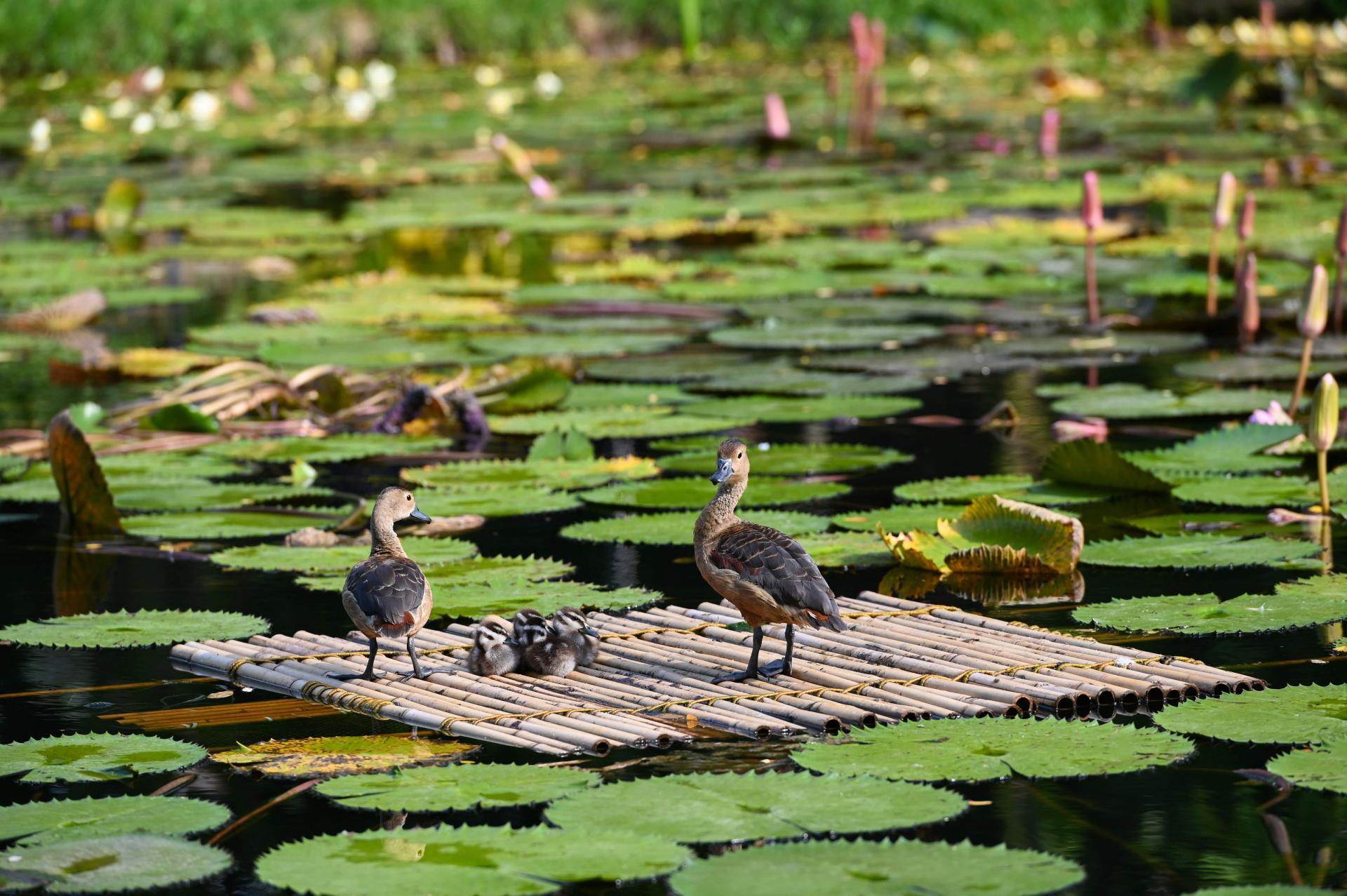 Семья утят на пруду в Сингапуре