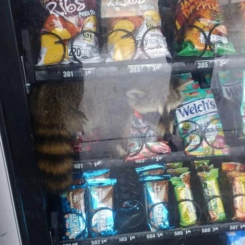 raccoon vending machine1