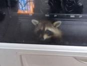 raccoon vending machine2