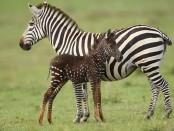 зебра в крапинку