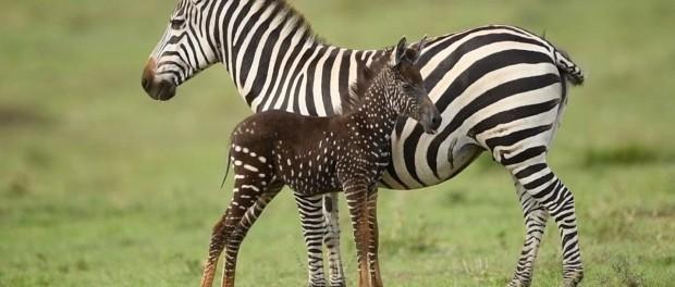 В Кении нашли зебру в крапинку