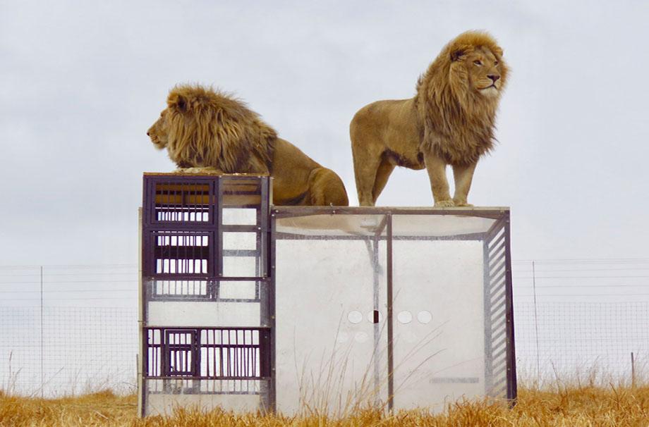 клетка для фотографирования львов