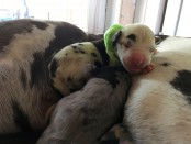 Caddy Roberts Williams'  Great Dane gave birth to a litter of puppies Monday morning, one of which was born green. Her name is Verdant. Courtesy Photo