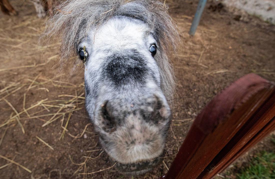 Селфи миниатюрной лошадки из конезавода в Польше