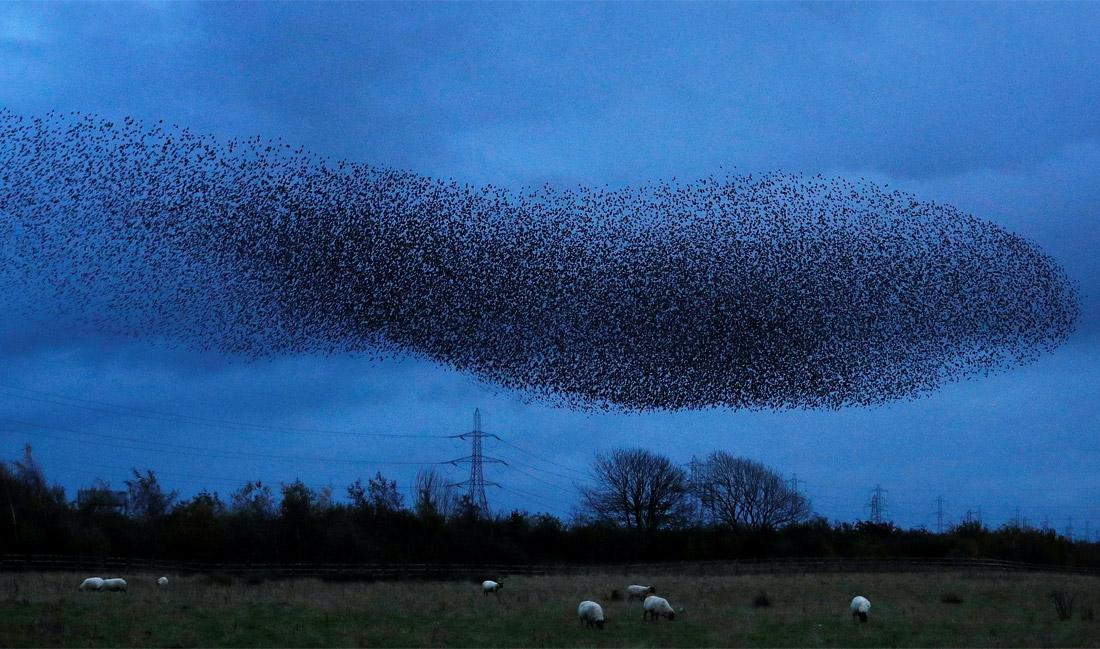 Небо заКИТевело - мурмурация скворцов в Шотландии