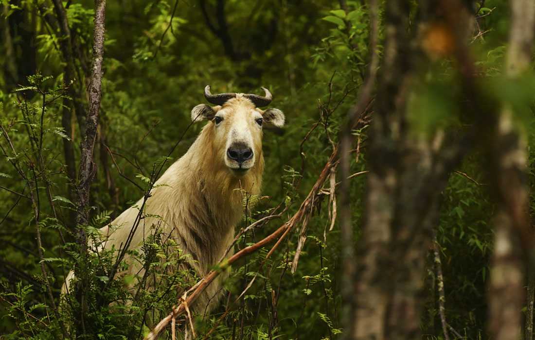 В горах Циньлин встретили редкого копытного такина
