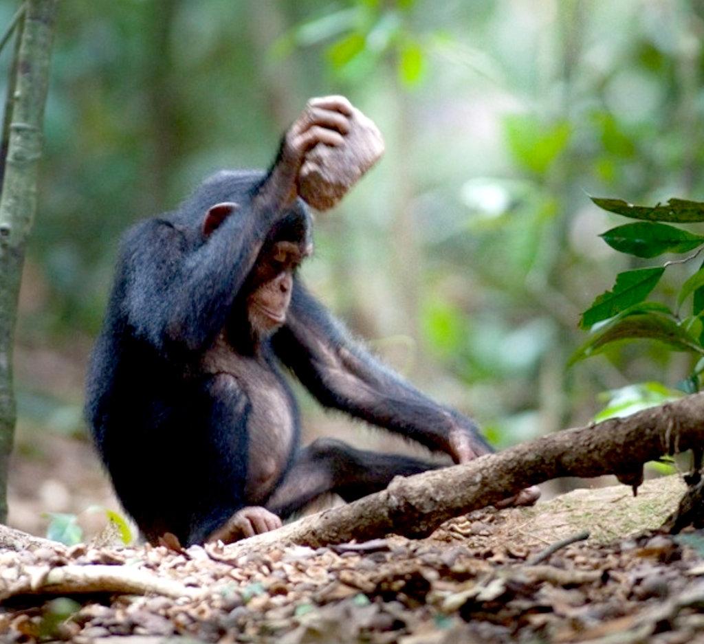 Палка сделала из обезьяны человека, а камень превратит их в музыкантов