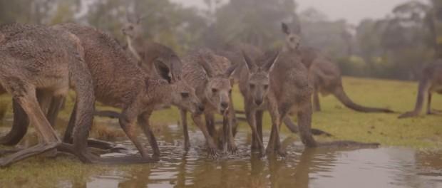 Австралийские животные радуются дождю