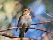 songbird 1