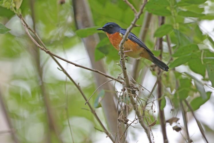 songbird 3