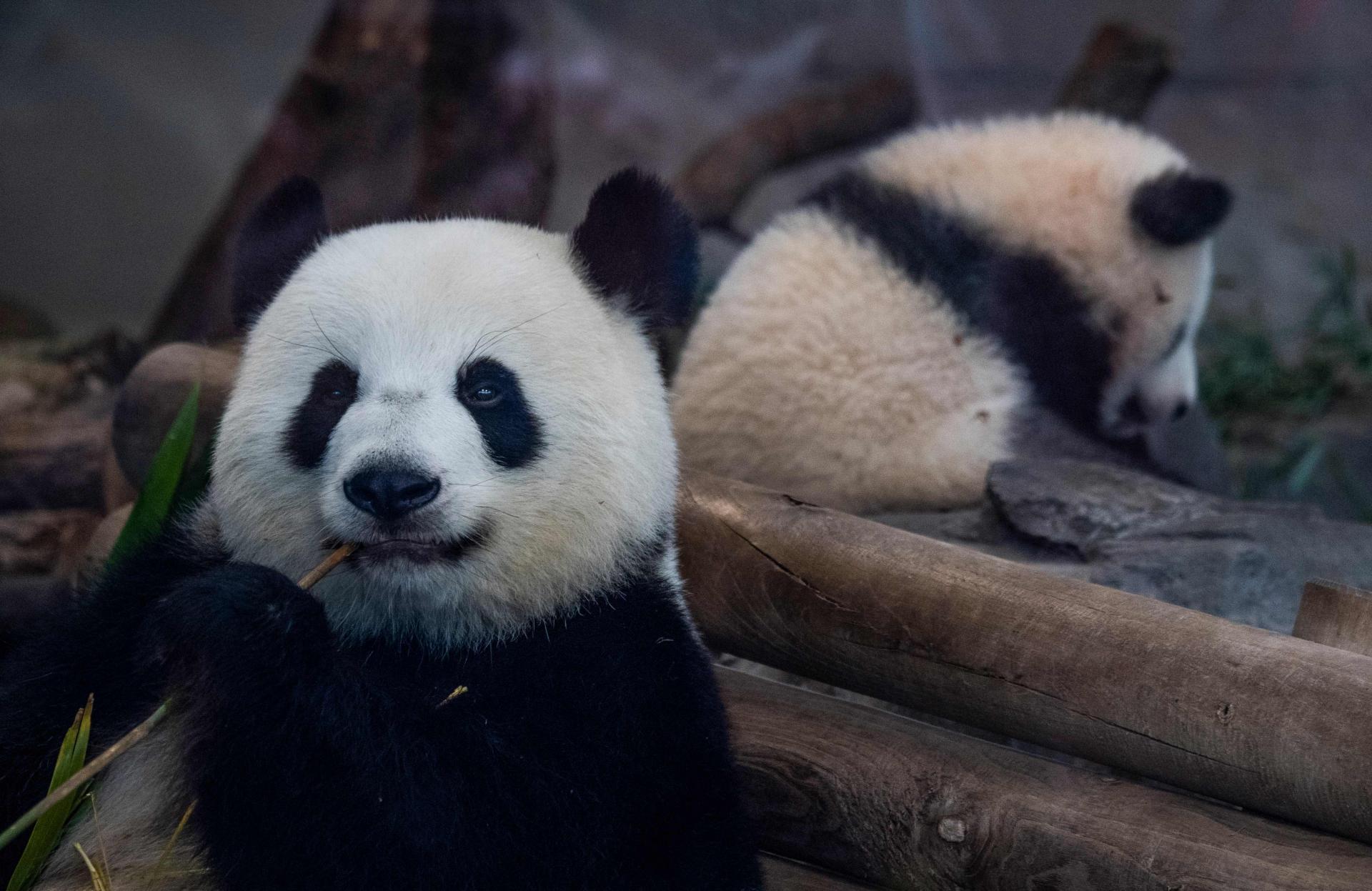 Панда Мэн Мэн родила близнецов в зоопарке  Берлина
