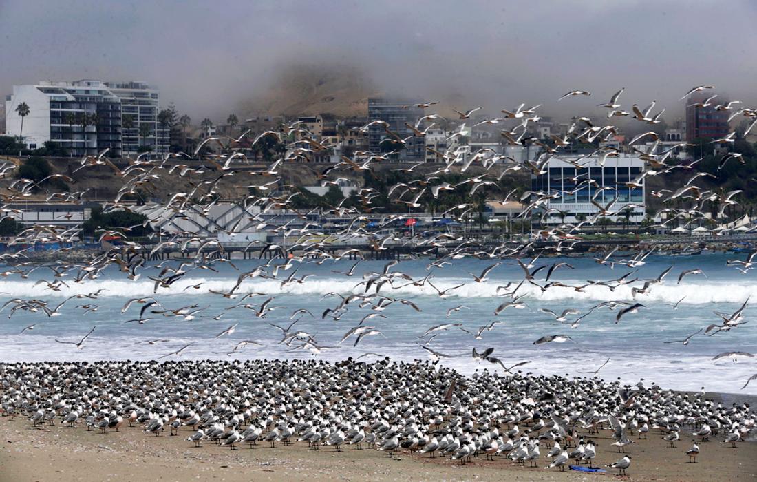Карантин для людей - рай для птиц. На пляже в Перу