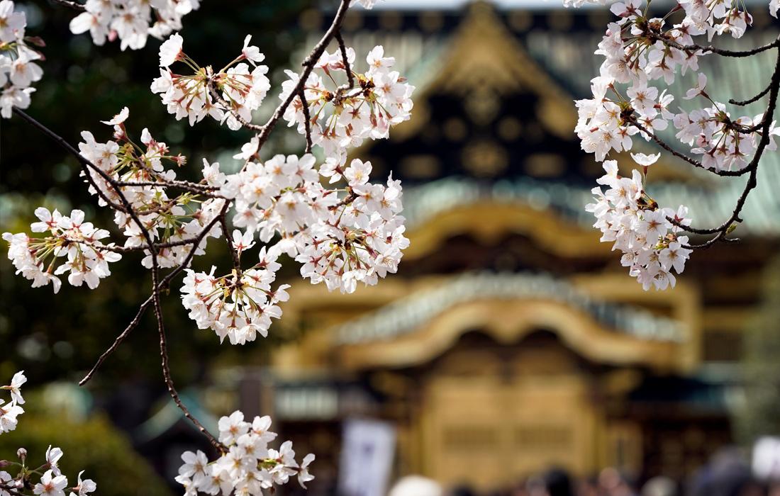 Немного позитивчика - в Японии зацвела сакура