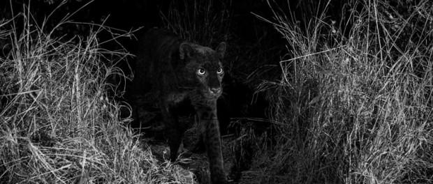 В ЮАР засняли на видео легендарного черного леопарда