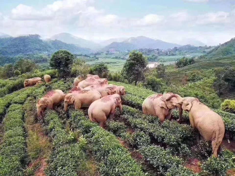 В Китае слоны дикой пьянкой спасаются от коронавируса