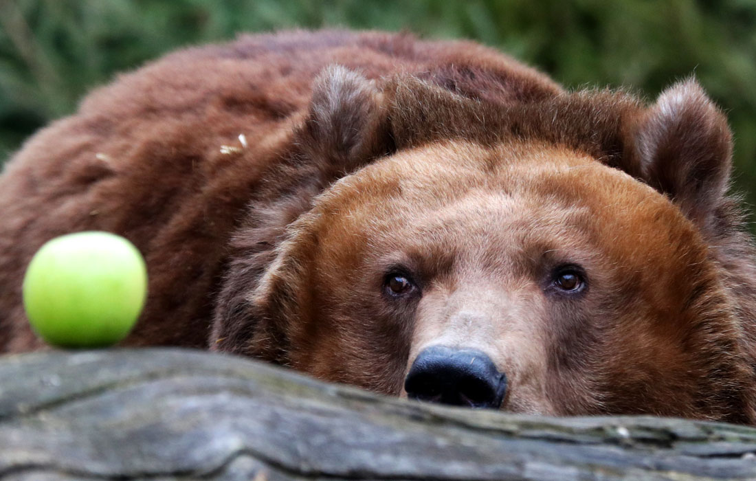 Ранняя весна разбудила медведей в зоопарках