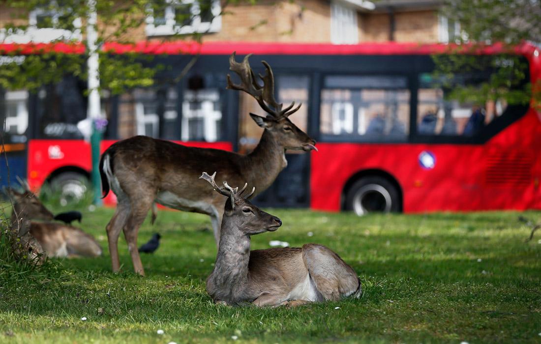 Карантин вывел на улицы животных. Лондон