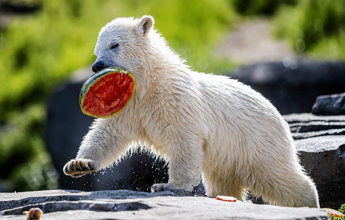 Такое лето мне по душе - белый медвежонок Нана в зоопарке Ганновера
