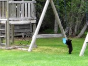 Baby Bear Cubs play with swing