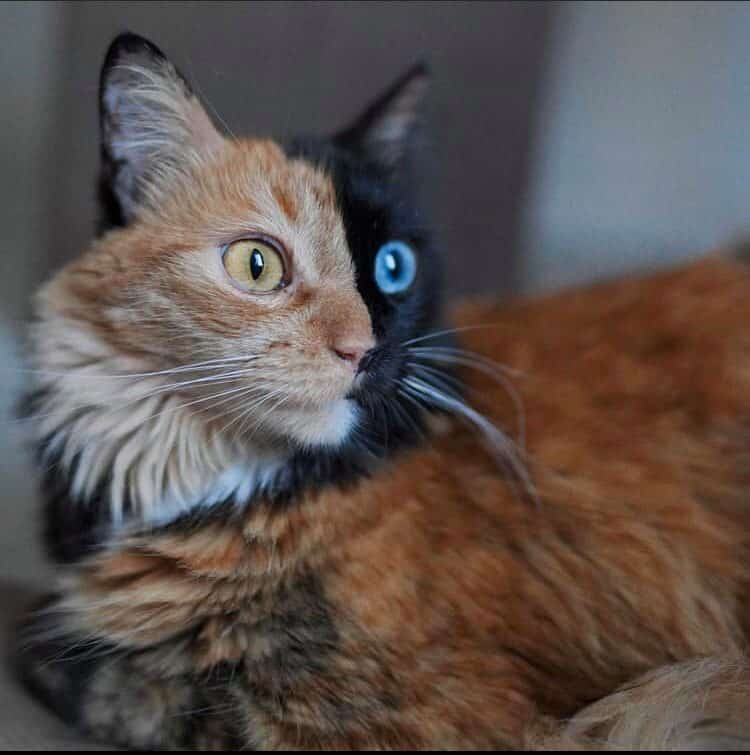 quimera cat2