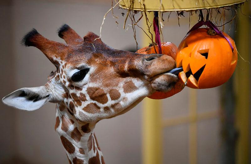 Вот уже и жирафы в зоопарке Бристоля готовы к Хэллоуину