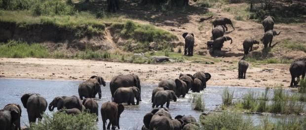 В Национальном парке Крюгера запечатлели самое крупное стадо слонов