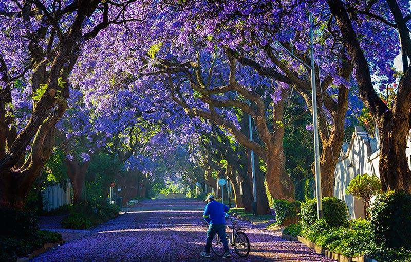 В ЮАР начался сезон цветения жакаранды